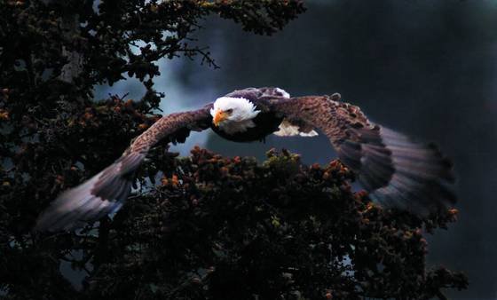 Approaching eagle