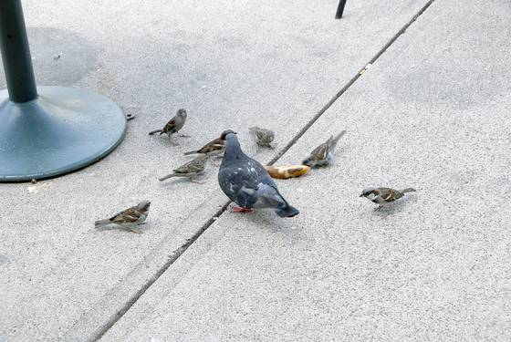 The pigeon and the sparrows 4