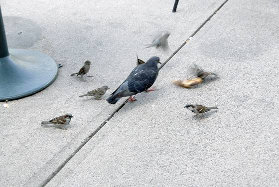 The pigeon and the sparrows 5