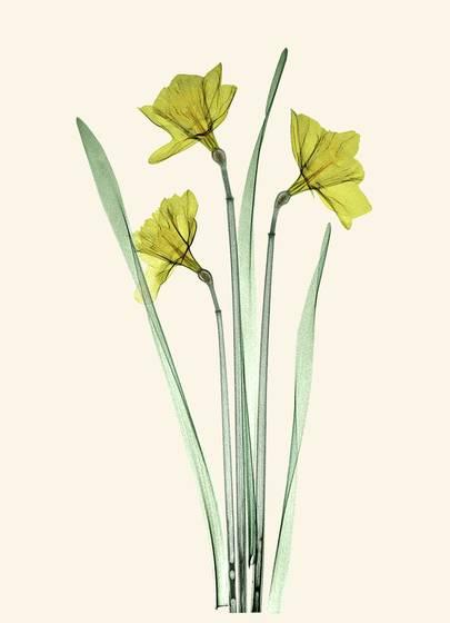 Daffodil trio x ray