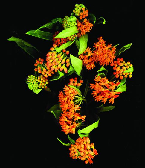Butterfy bush