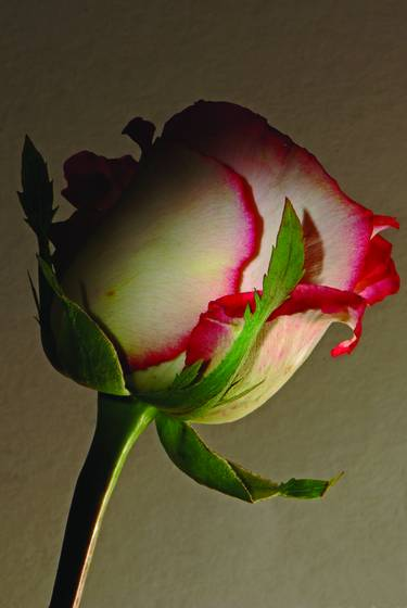 White and pink rose