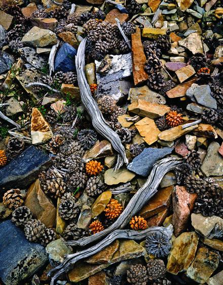 Spent pinyon pine cones