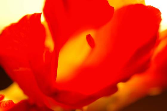 Red gladiolus 1