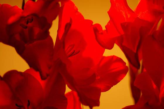 Red gladiolus 4