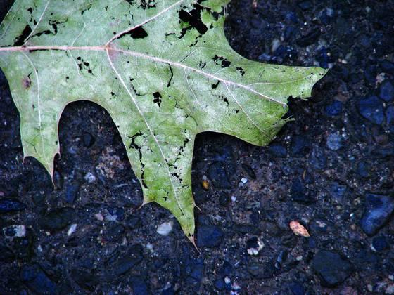Asphalt leaf 1