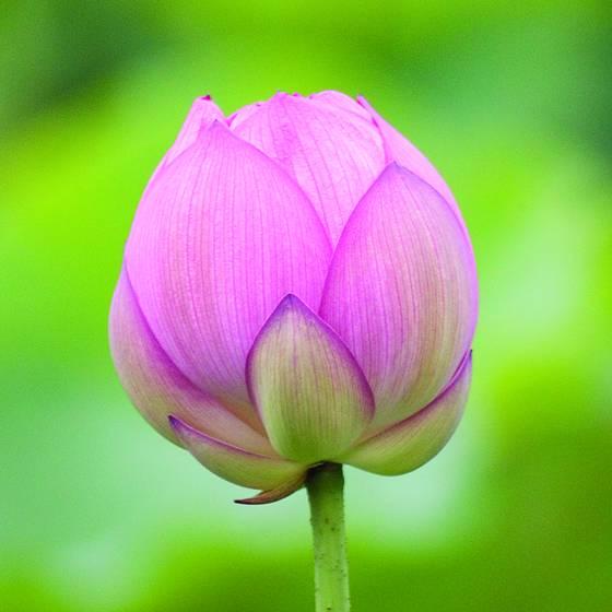 Lotus closed