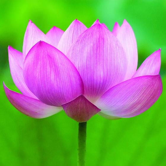 Lotus open