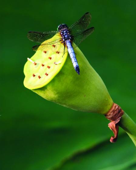 Lotus seed pod and dragonfly