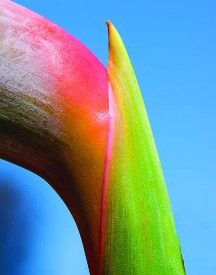 Bird of paradise stalk