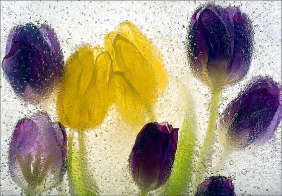 Ice tulips