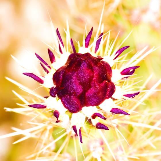 Cactus bud 2