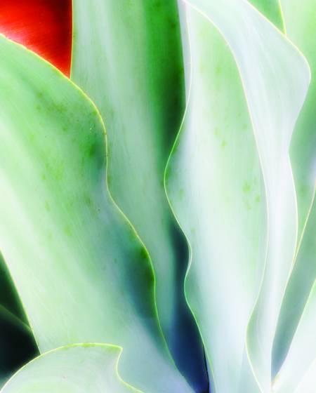 Aloe rhythm 1