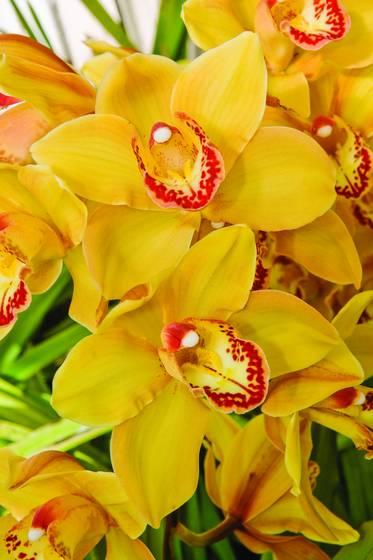 Cymbidium orchid comanche goldie