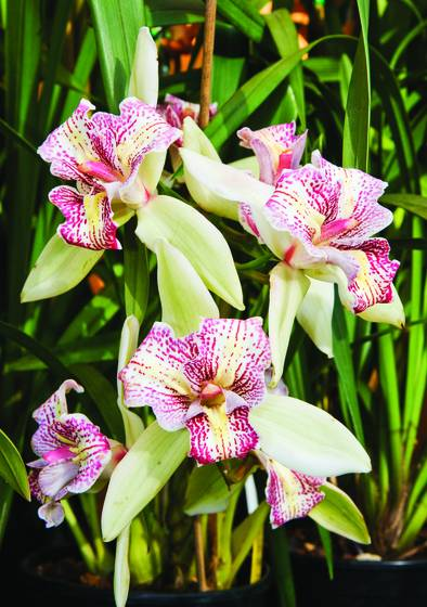 Cymbidium orchid flaming 3 lip