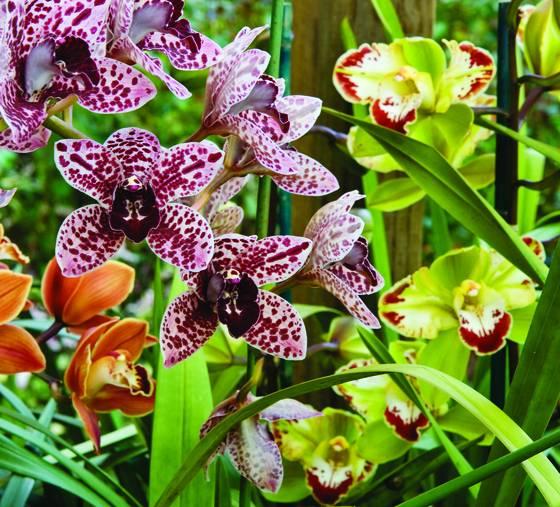 Cymbidium orchid group w splatters flamenco and vidar harlequin