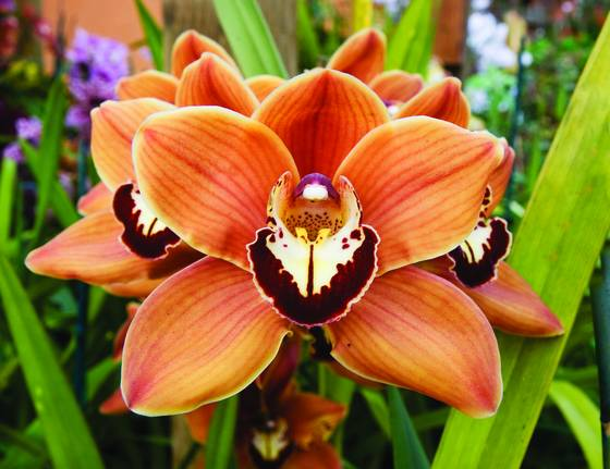 Cymbidium orchid mighty sunset roxbury red