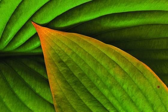 Autum hasta leaves  2