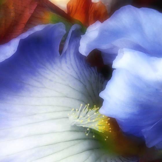 The last iris