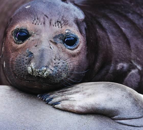 Elephant seal pups i