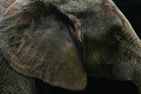 Elephant profile