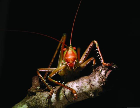 Predatory katydid