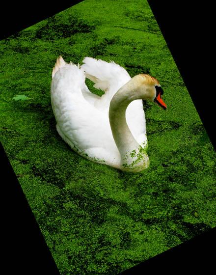 Cruising swan