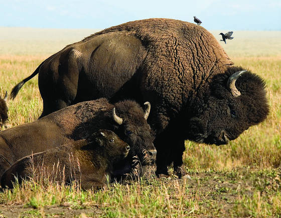 Buffalo family portrait