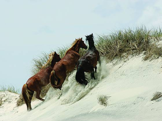 Mustang  stallion   mares