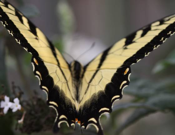 Swallow tail butterfly 2