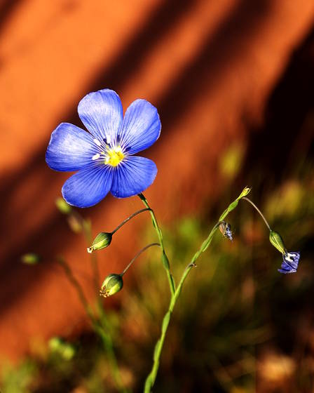 Sedona bloom
