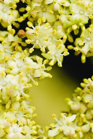 Hoag yellow