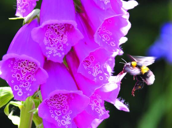 Bee on foxglove