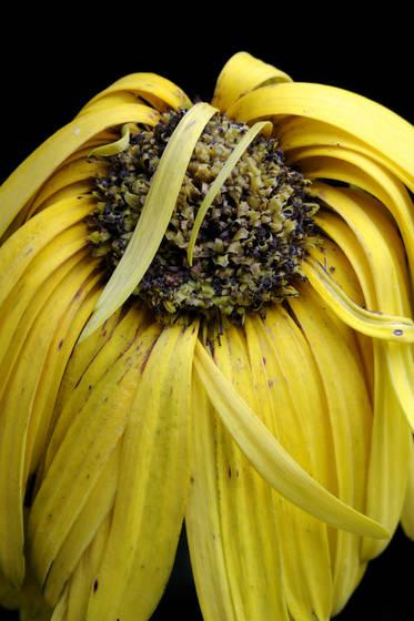 Fallen daisy