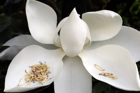 Magnolia bloom