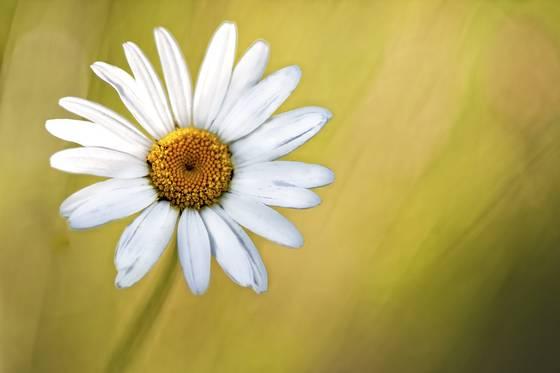 Hidden daisy