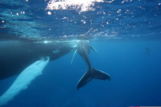 Snorkeling with humpback and her calf