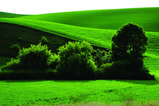 Hill   wheat field