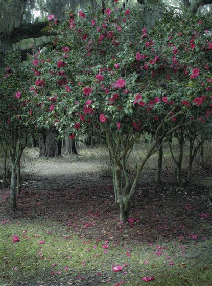 The red camelia