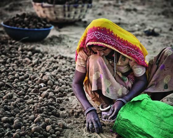 Gathering dung