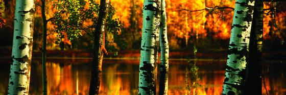 Fall poplars pano