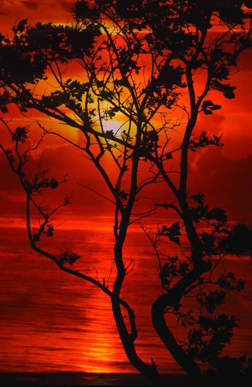Morikami tree