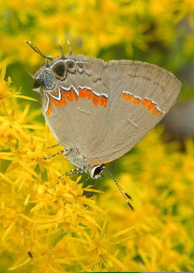 Grey butterfly with yellow flowers