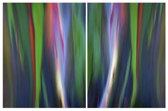Painted eucalyptus v