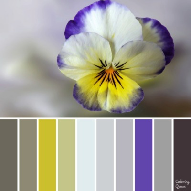White Pansy with purple edging color scheme