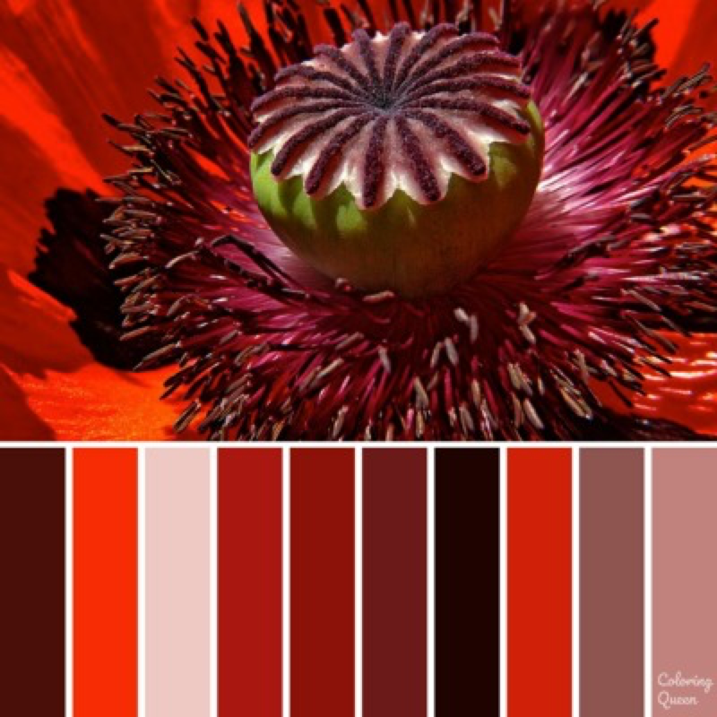 Close up of red poppy color scheme