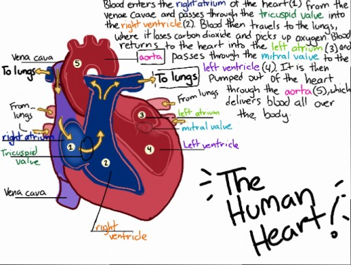 human heart diagram label colors! live - heart diagram by spookygadreel #5