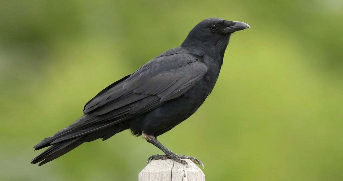 Fish crow identification all about birds cornell lab of for Fish crow call