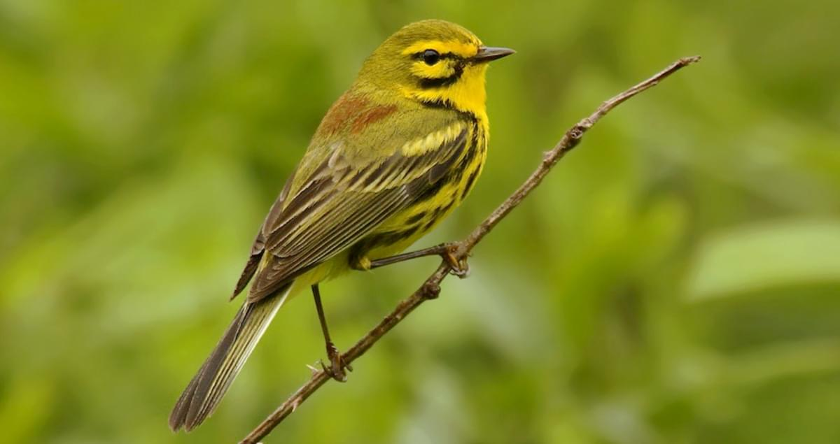 Prairie Warbler Life History, All About Birds, Cornell Lab ...