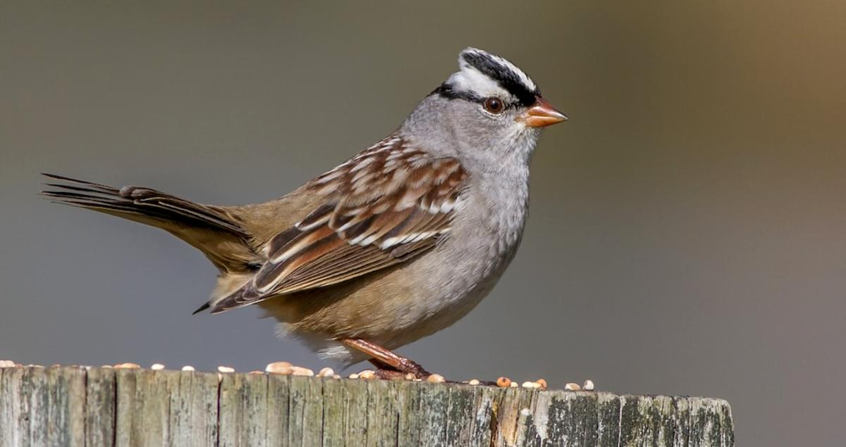White-crowned Sparrow Identification, All About Birds ...